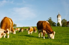Cows on green Grassland, typical Bavarian Church in Background